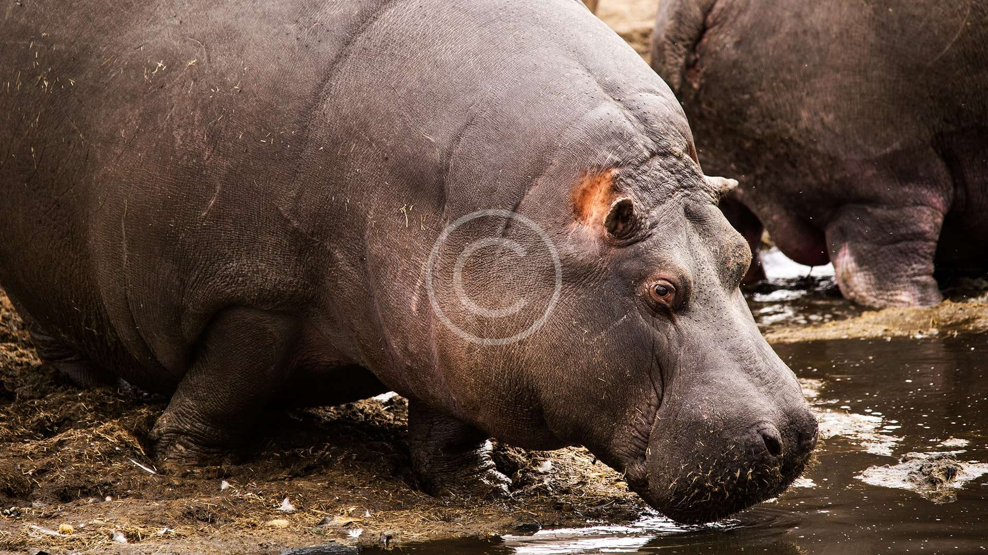 Support Hippopotamus